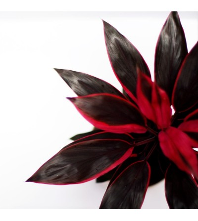 Fuchsia Cordyline