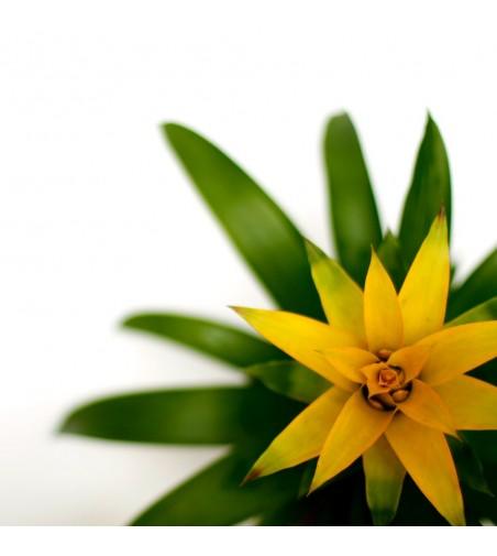 Guzmania amarilla
