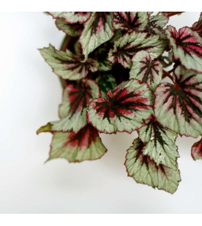 Begonia Royal