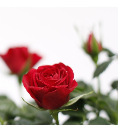 Rosal de pitiminí rojo