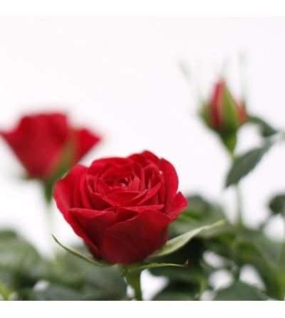 Roser pitiminí vermell