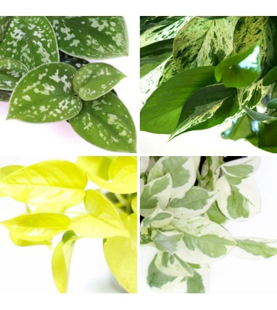 Pack of 4 exclusive Pothos