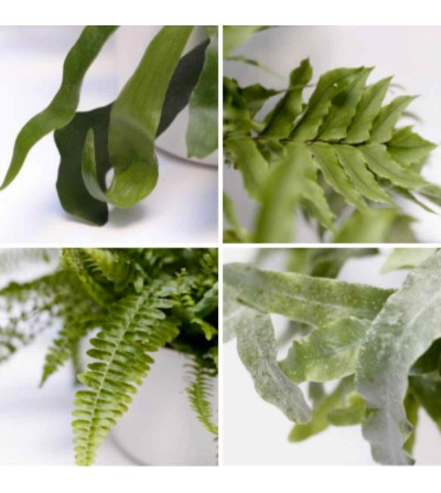 Pack of 4 ferns