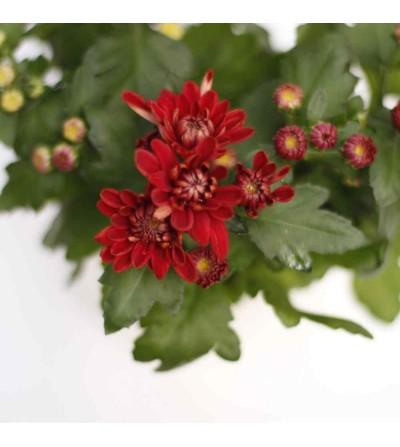Crisantem