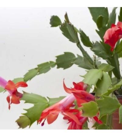 Cactus de Noël