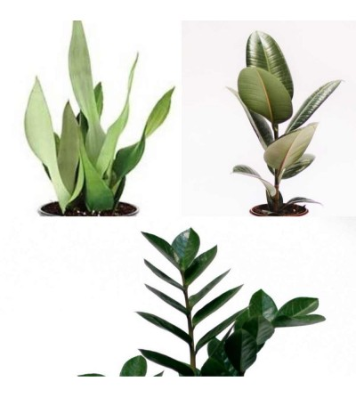 Pack de 3 plantas indestructibles