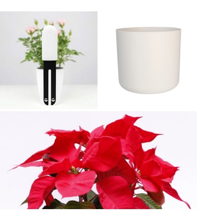 Christmas pack of Poinsettia
