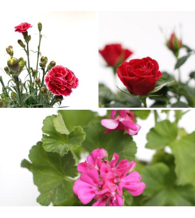 Pack de 3 plantes especial Primavera