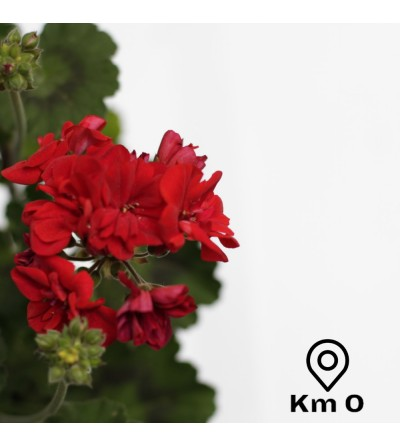 Pack of 3 geranium