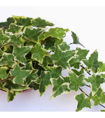 Heura variegata