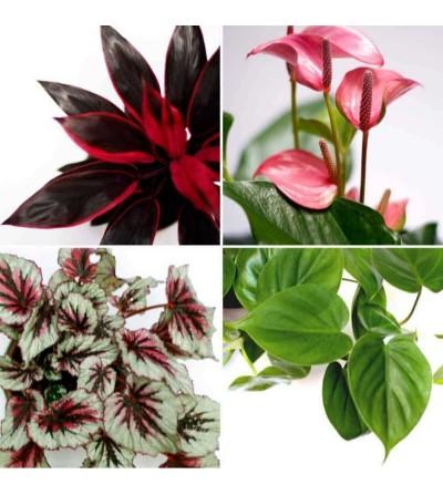 Pack de 4 plantes Rosa Passió