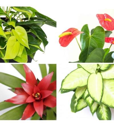4er-Pack Pflanzen 'Vitales Rot'