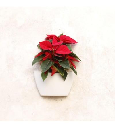Confezione fioriera a muro con Poinsettia