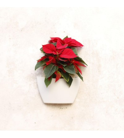 Pack wall planter with Poinsettia