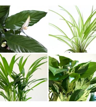 4er-Pack luftreinigende Pflanzen