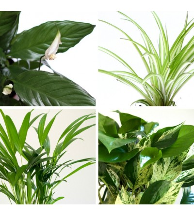 Pack de 4 plantes Purificatrices d'air