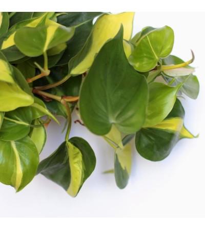 Philodendron du Brésil
