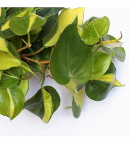Dracaena for hydroponics