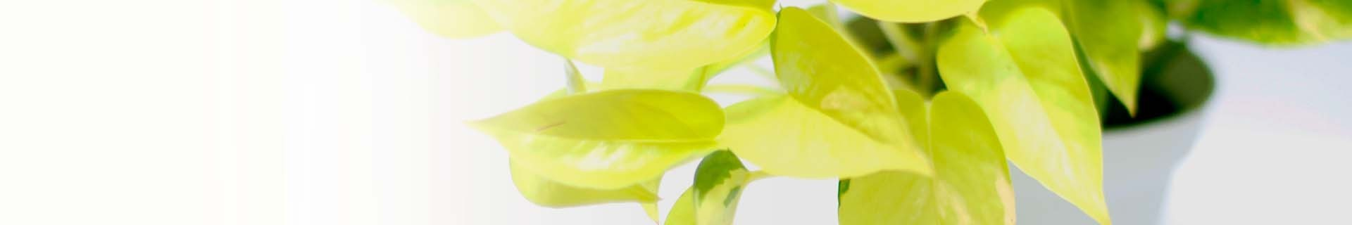 Plantes d'interior km 0: falguera, filodendro, cirtomi, banya de cérvol, davalia.