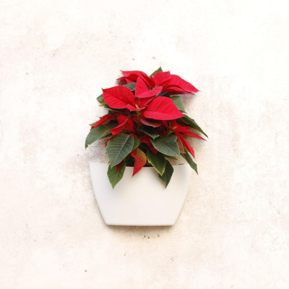 Maceta de pared con Poinsettia
