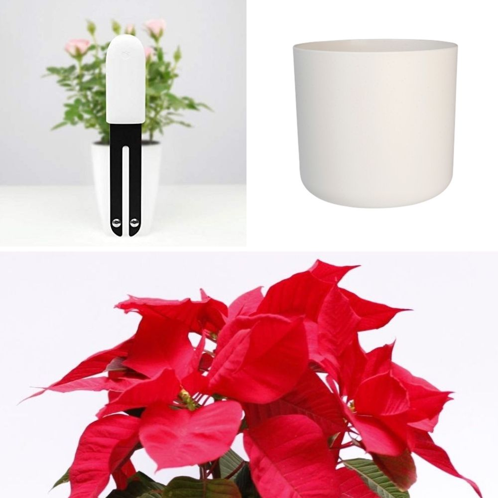 Pack navideño poinsettia perfecta