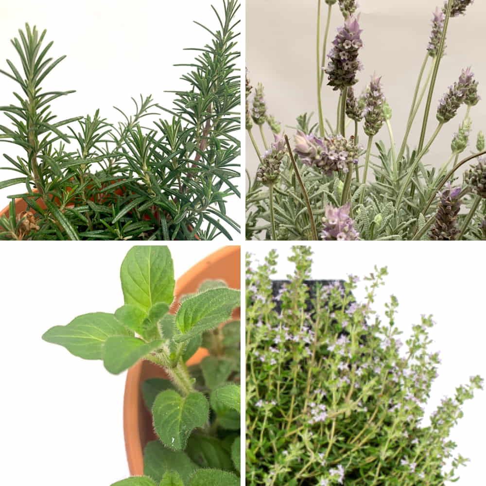 pack plantas provenzales