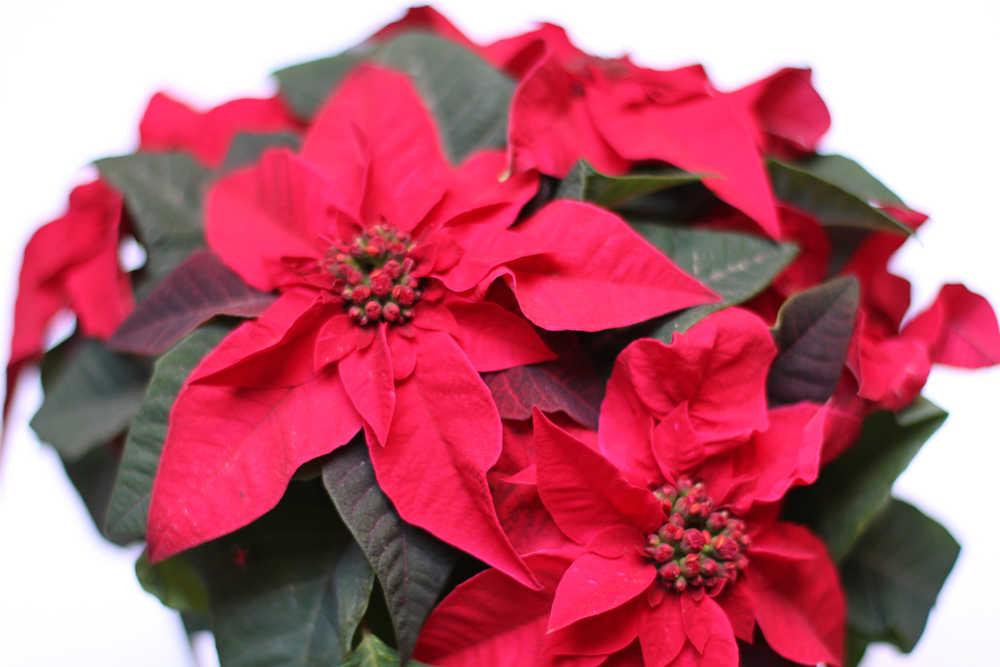 poinsettia planta navidad